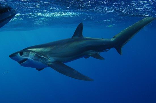 Thresher-Shark2