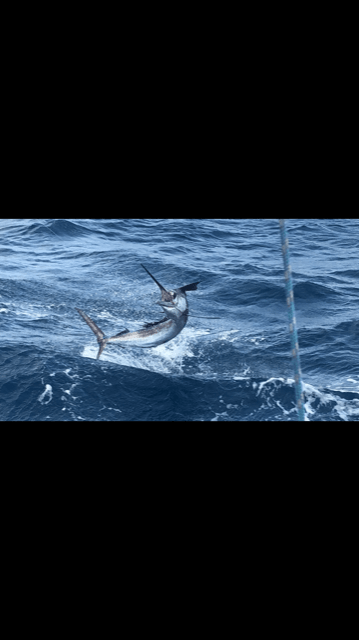 Sail fish are here off the coast of Ft Lauderdale